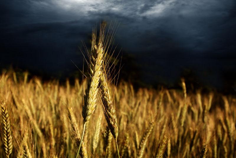 Reflexão do Evangelho: Joio e trigo crescem juntos