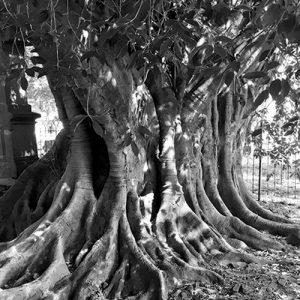 La leyenda de Jalisco, el árbol del vampiro