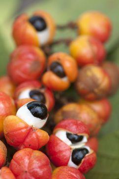 A fruta de onde se extrai o pó de guaraná