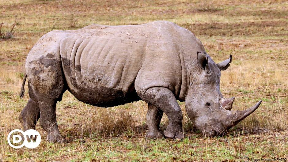 La caza furtiva de rinocerontes está aumentando de nuevo en Sudáfrica |  Actualmente África |  Titulares