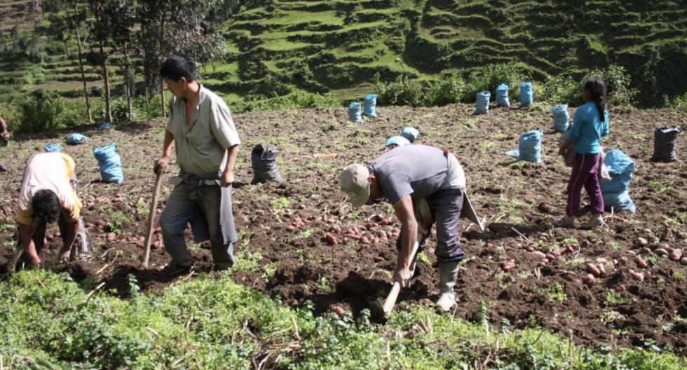Alimentos | Precios | Agrícola | Campaña agrícola 2021-2022: Áreas cultivadas de seis productos aumentarían, pero en dos… – Perú