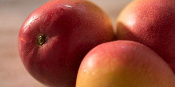 Mango peruano, tras un nuevo tratamiento sanitario para evitar la mosca de la fruta | ECONOMIA – Perú