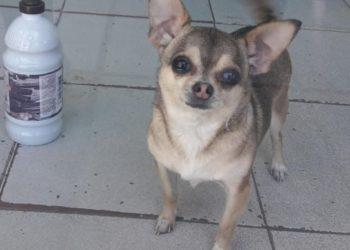 Apareció «China», el perro chiguagua que había sido secuestrado de su casa en Catán/ Titulares de La Matanza