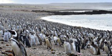 Con la llegada de los primeros pingüinos se abrió al turismo la reserva Punta Tombo – Télam/Titulares de Turismo