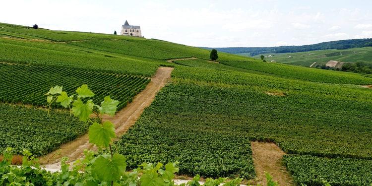 Cosecha de champán 2021: la recolección se acerca a su fin a medida que los productores sopesan las pérdidas / Titulares de Vinos y Bodegas