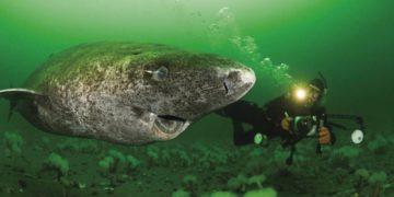 Este tiburón tiene 400 años, nació cuando los piratas del Caribe dominaban los mares   Life