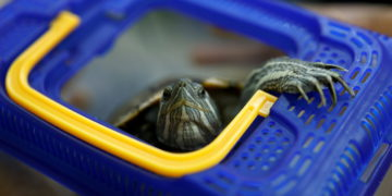 Una tortuga detiene el tráfico aéreo en un aeropuerto de Japón – Mundo