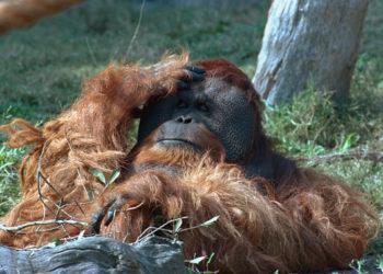 El zoológico de Luisiana comienza con las vacunas COVID, comenzando con simios y tigres – Internacionales